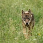 Wilk Canis lupus 0832