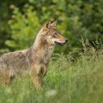 Wilk Canis lupus 0854