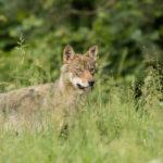 Wilk Canis lupus 0937