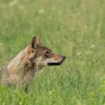 Wilk Canis lupus 0962