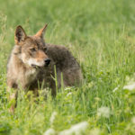 Wilk Canis lupus 1082