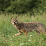 Wilk Canis lupus 1102