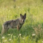 Wilk Canis lupus 1193