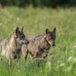 Wilk Canis lupus 1240
