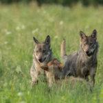 Wilk Canis lupus 1241
