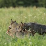 Wilk Canis lupus 1243