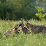 Wilk Canis lupus 1266