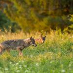 Wilk Canis lupus 1591