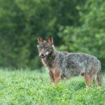 Wilk Canis lupus 2537