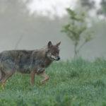 Wilk Canis lupus 2738