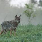 Wilk Canis lupus 2762