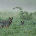 Wilk Canis lupus 2795