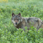 Wilk Canis lupus 2825