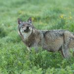 Wilk Canis lupus 2840