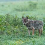 Wilk Canis lupus 2882