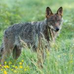 Wilk Canis lupus 3035