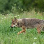 Wilk Canis lupus 5439