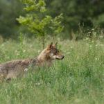 Wilk Canis lupus 5669