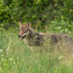 Wilk Canis lupus 5739