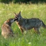 Wilk Canis lupus 5871