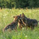 Wilk Canis lupus 5877