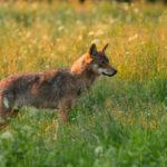 Wilk Canis lupus 6294