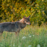 Wilk Canis lupus 6354