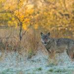 Wilk Canis lupus 8809