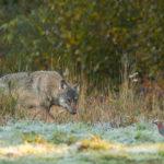 Wilk Canis lupus 8838