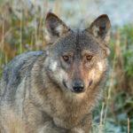 Wilk Canis lupus 9081