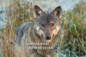 Wilk Canis lupus 9081 baner