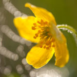 Zawilec żółty Anemone ranunculoides 7828