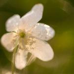Zawilec gajowy Anemone nemorosa 7708
