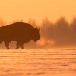 Żubr (Bison bonasus) 9279