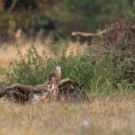 Bielik (Haliaeetus albicilla) 5753