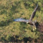 Bielik (Haliaeetus albicilla) 5758