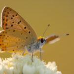 Czerwończyk uroczek (Lycaena tityrus)_2185