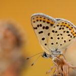 Czerwończyk uroczek (Lycaena tityrus)_3645