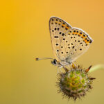 Czerwończyk uroczek (Lycaena tityrus)_3661