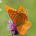 Dostojka malinowiec (Argynnis paphia)_9109