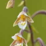 Kruszczyk błotny (Epipactis palustris)_6304