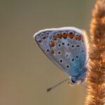 Modraszek ikar (Polyommatus icarus)_1484