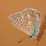 Modraszek ikar (Polyommatus icarus)_2085