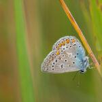 Modraszek ikar (Polyommatus icarus)_3447
