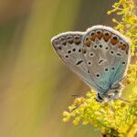 Modraszek ikar (Polyommatus icarus)_3547