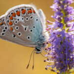 Modraszek ikar (Polyommatus icarus)_9980