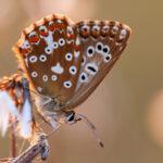 Modraszek korydon (Polyommatus coridon)_1585