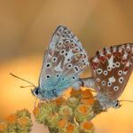 Modraszek korydon (Polyommatus coridon)_2639