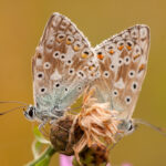 Modraszek korydon (Polyommatus coridon)_5583