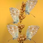 Modraszek korydon (Polyommatus coridon)_5628